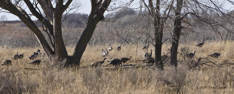 20090103_Turkeys_0184_wm