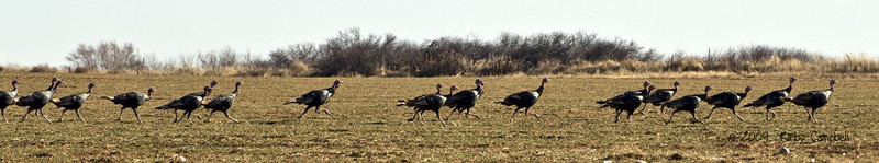 20090103_Turkeys_0189_wm