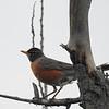 American robin (common)
