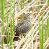 Female Red-winged blackbird (common).