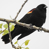Male Red-winged black bird (common)