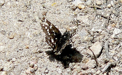 562MtnCkSk July 3, 2010 - 12:44 p.m.  P1060562 Mountain Checkered Skipper, Pyrgus xanthus.  In road, Grand Co., Granby area