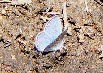 509SilveryBlueD July 3, 2010 - 9:30 a.m.  P1060509 Silvery Blue, Glaucopsyche lygdamus. Rd 50 2.5 mi se of 40 in Grand Co.