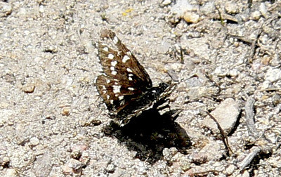 561MtnCkSk July 3, 2010 - 12:44 p.m. P1060561 Mountain Checkered Skipper, Pyrgus xanthus. In road Grand Co., Granby area
