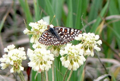 518AniciaCkrsp July 3, 2010 - 9:50 a.m. P1060518 Anicia Checkerspot, Euphydryas anicia, split from Variable Checkerspot.  Grand Co., Rd 50 2.5 mi se of 40