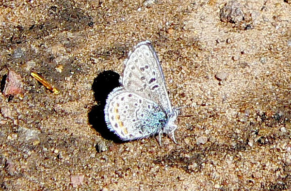 510AncillaBlue July 3, 2010 - 9:30 a.m. P1060510 Ancilla Blue, Euphilotes ancilla, one of the Dotted Blue complex. Grand Co. Rd. 50 2.5 mi se of 40