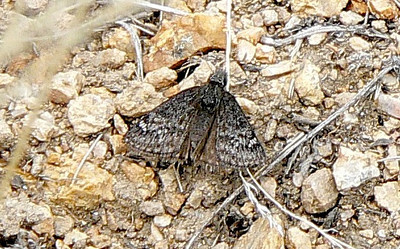 602PersiusDuskywg July 4, 2010 - 11:20 a.m.  P1060602 Persius Duskywing, Erynnis persius. Park Co. rd 58 .5 to 1 mi from 285 Kenosha Pass area