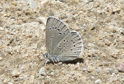 543SilveryBlue July 3, 2010 - 12:00 noon P1060543 Silvery Blue, Glaucopsyche lygdamus, on Rd 253 off of 55 1.25 mi SE of Cottonwood Pass.
