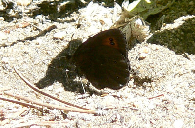 547CommonAlpine July 3, 2010 - 12:10 p.m. P1060547 Common Alpine, Erebia epipsodea, Rd 253 off of 55 1.25 mi SE of Cottonwood Pass