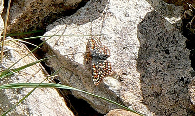 639AniciaCkrspot July 4, 2010 - 3:00 p.m.  P1060639 Anicia Variable Checkerspot, Euphydryas anicia.  Horseshoe Mountain at snow crossing