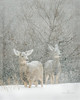 Two mule deer seeking shelter during a December blizzard.  Douglas County, Colorado.