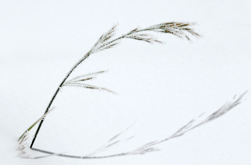 A blade of grass bowing to an early season freezing rain and snow.  Douglas County, Colorado.