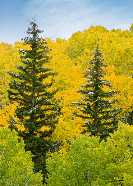 Fall Aspen in the Roaring Fork Valley near Snowmass, Colorado