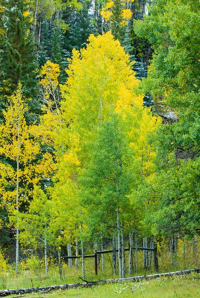 Fall Aspen in the Roaring Fork Valley near Snowmass
