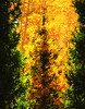 A confer growing through the branches of an aspen.  The pixels forming the gold aspen leaves and the needles of the conifers have been brushed to simulate a painting.