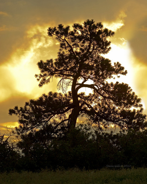 A pine tree silhouette at dawn as a storm breaks up.