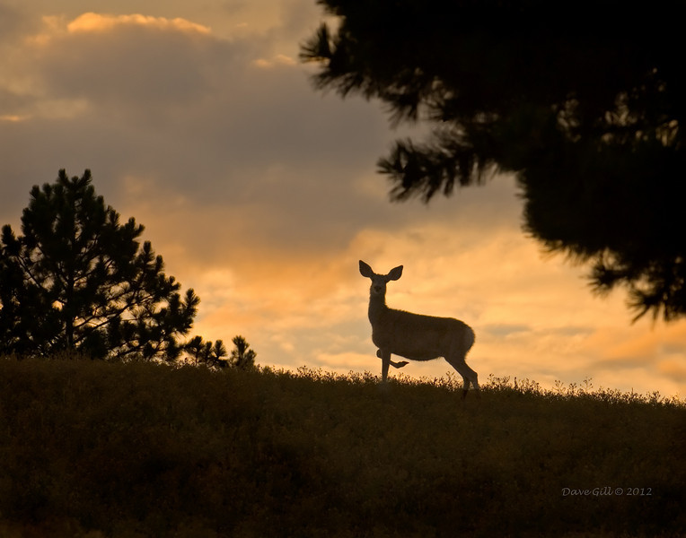 Mule Deer at Dawn, Douglas County, Colorado.