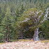 At the tree line, a bristlecone pine dated as 2500 years old.