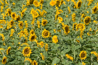 The LONG drive across Kansas was rather uneventful.  Near Goodland,Kansas I was compelled to stop and photograph a particularly pretty field of sunflowers.