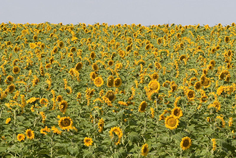 Lots and lots of sunflowers!
