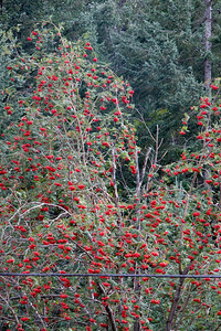 As we neared the end of our trip, we saw many Mountain Ash trees with bright red berries.