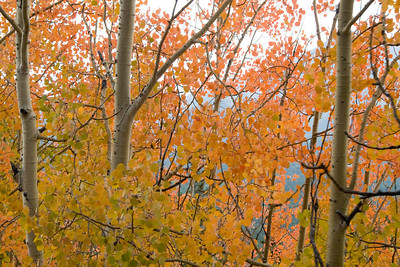 The pink aspens were especially brilliant in one spot along the track.