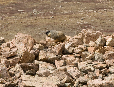 Another well-fed marmot warming on a rock near the track.