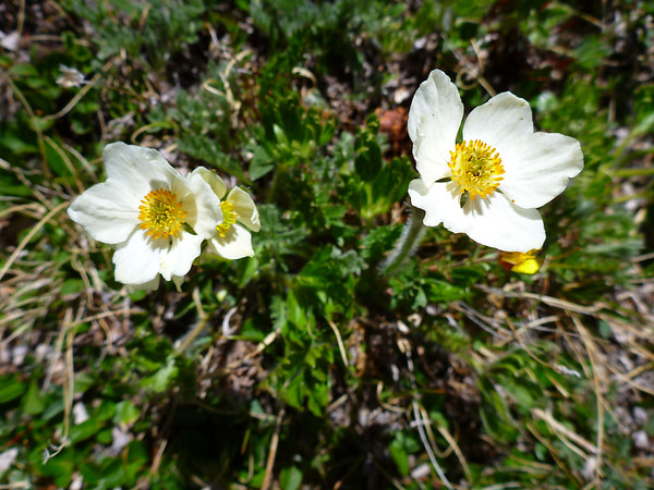 Amazing wildflowers in June at such a high altitude!  A testimony to the unusually warm spring we've had this year.