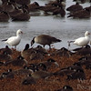 Snow Geese & Canada Geese