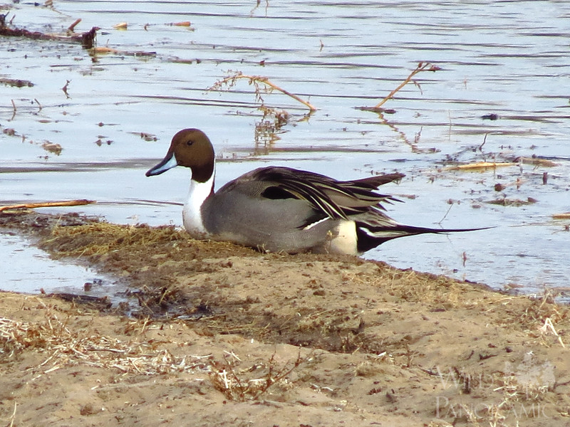 Northern Pintail (Male)