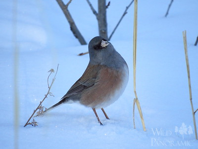 Dark-Eyed Junco (Pink Sided)