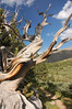 Wind and Sun Bleached Bristlecone Pine