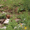 Yellow-bellied Marmot (Marmota flaviventris) and baby