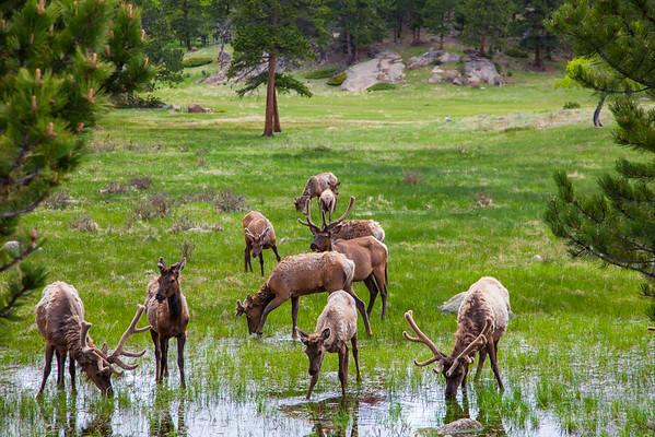 Elk Herd and Water