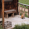 Red fox (Vulpes vulpes) outside RMBL cabin