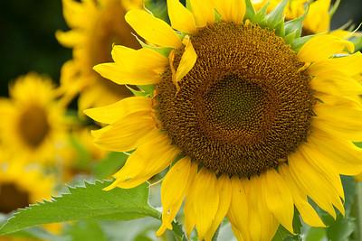 Sunflower, Vermont
