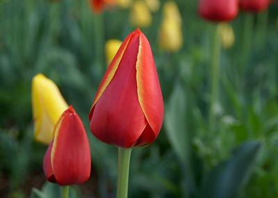 Tulip, Monticello, Virginia