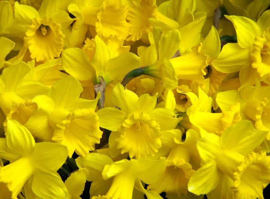 Daffodil, Seattle, Washington