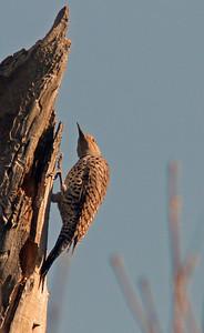 Woodpecker, Sacramento WLR