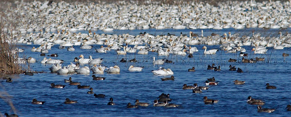 Gray Lodge Snow Geese