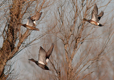 Widgeons in Flight, Gray Lodge WLR