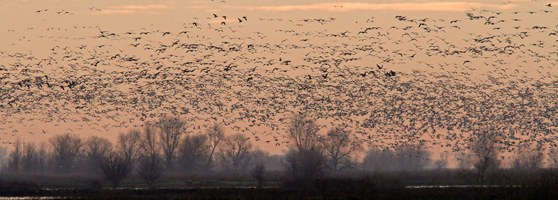 Colusa WLR Snow Geese eruption dawn