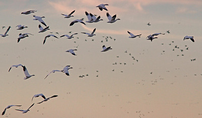 Snow Geese fly-out Colusa WLR