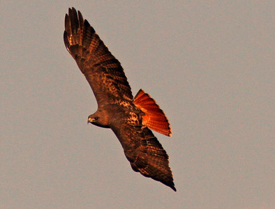 Red-tailed Hawk, Sacramento WLR