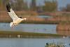 Snow Goose 62