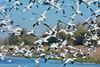 Ross's Geese flock 17