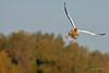 Snow Goose 710