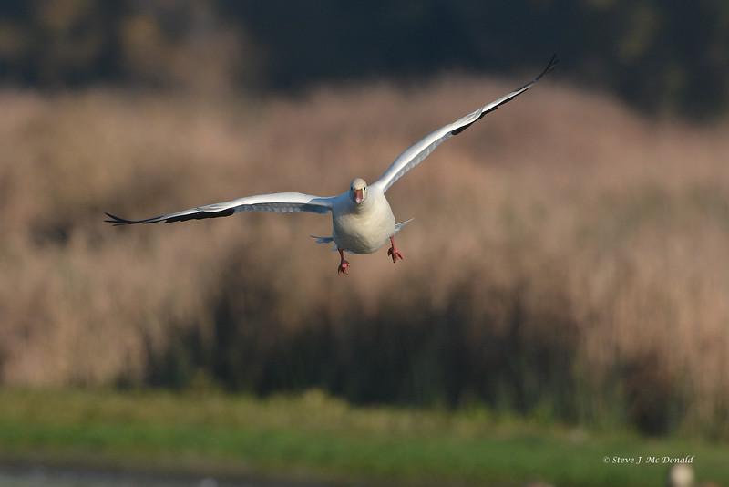 Ross's Goose landing 001