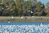 White geese  + cackling goose landing 58