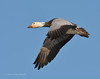 Blue Snow goose
